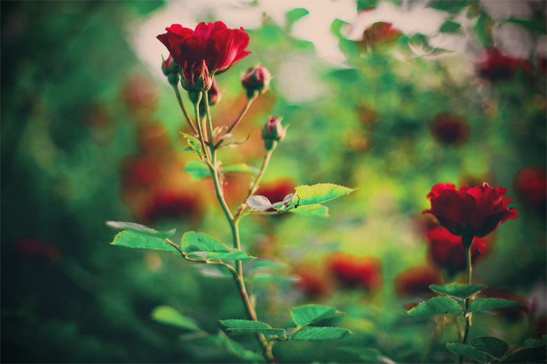 Rose Garden by Obsessed-by