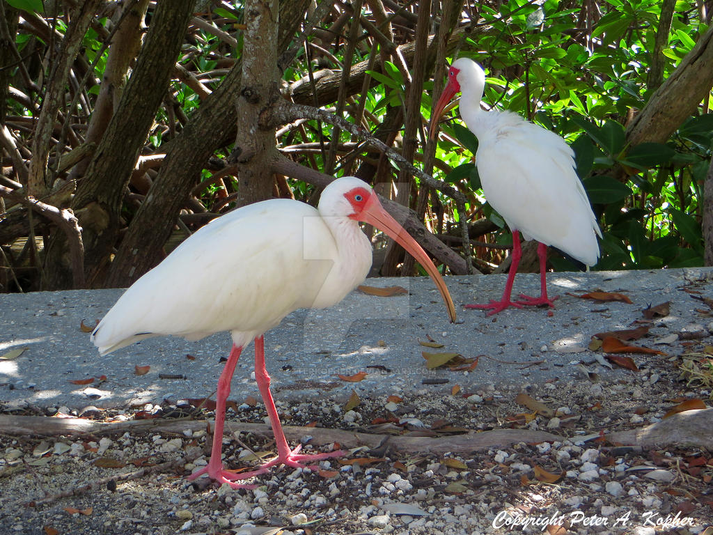 American White Ibis by peterkopher