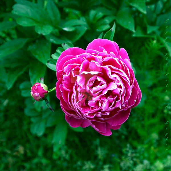 Peony and Orb by peterkopher