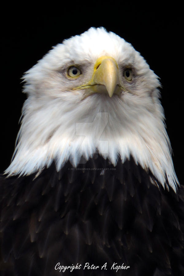 Portrait of an Eagle copyright by peterkopher