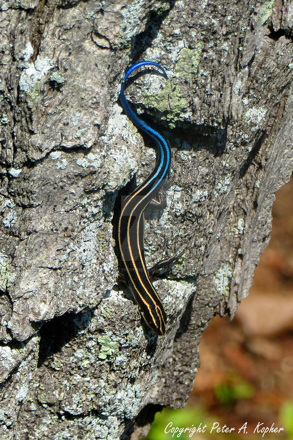 Blue Tailed Skink by peterkopher