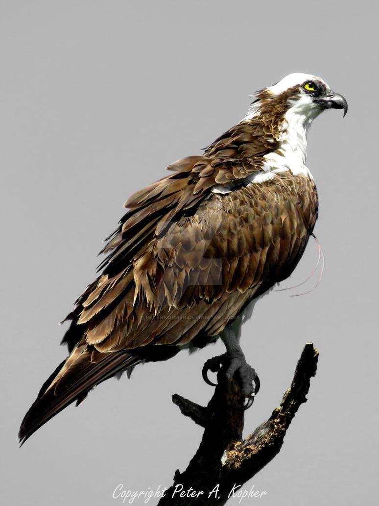 Osprey Portrait by peterkopher