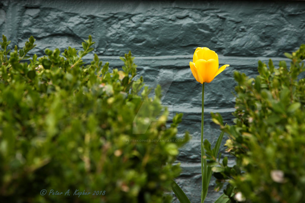 A Lone Yellow Tulip  by peterkopher