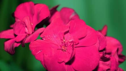Beautiful rose flowers by Mazaar