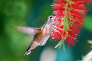 Humming Bird by jenmarie123