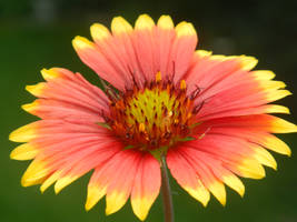 Red and Yellow Wildflower by elephanza