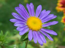Purple Wildflower by elephanza