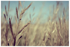 golden straw by Photograph-er