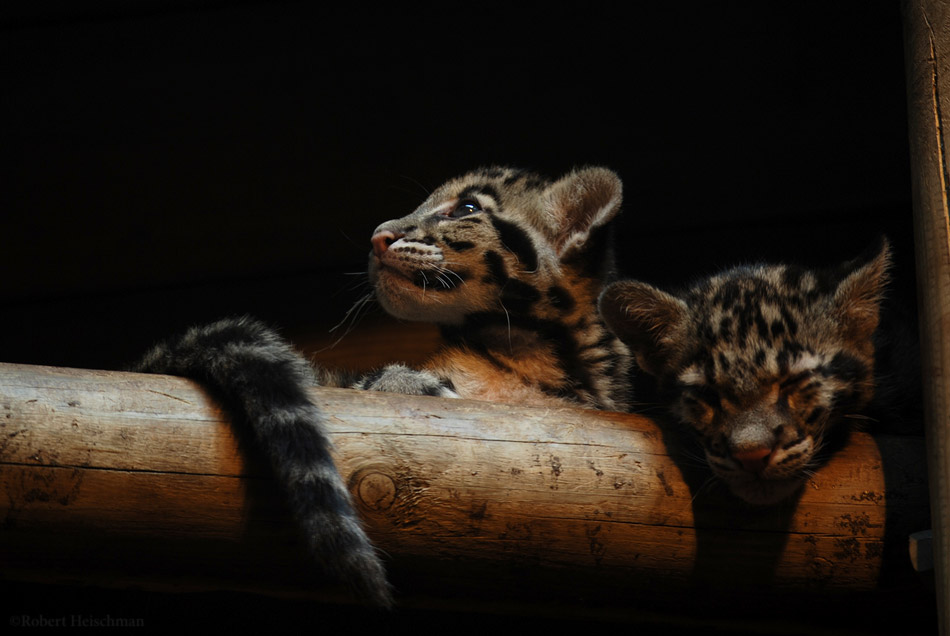 Clouded Leopard Cubs 6 by robbobert