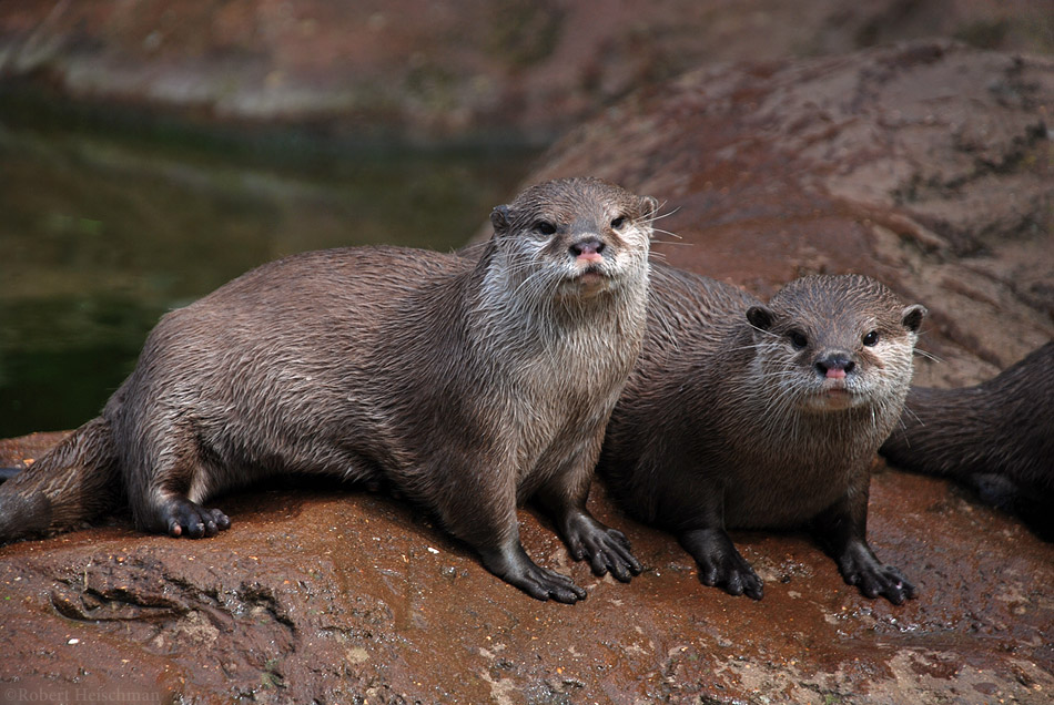 Asian Small-Clawed Otters by robbobert