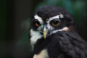 Spectacled Owl by robbobert