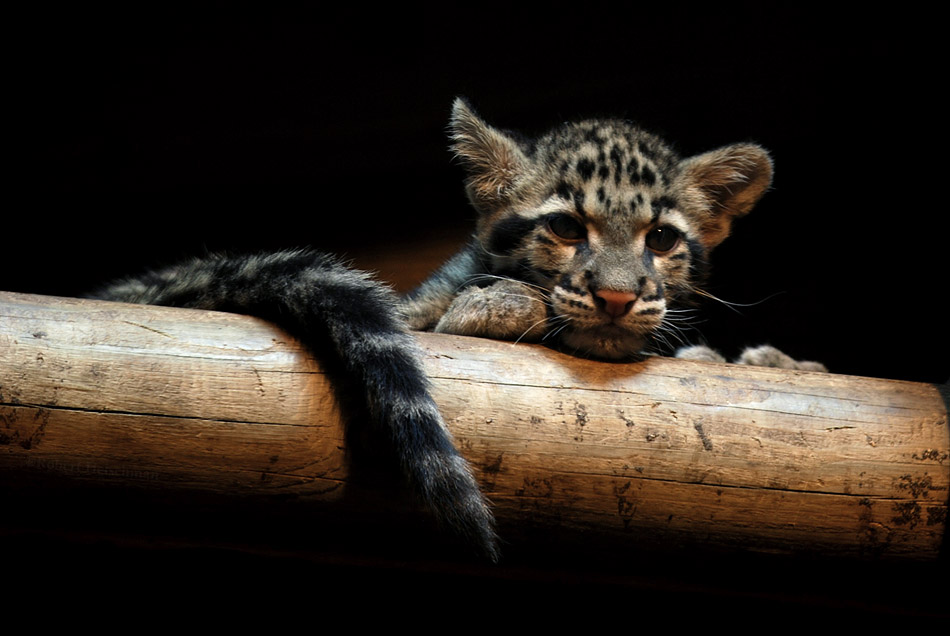 Clouded Leopard Cubs 7 by robbobert