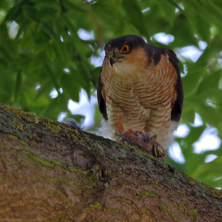 Sparrow Hawk by robbobert