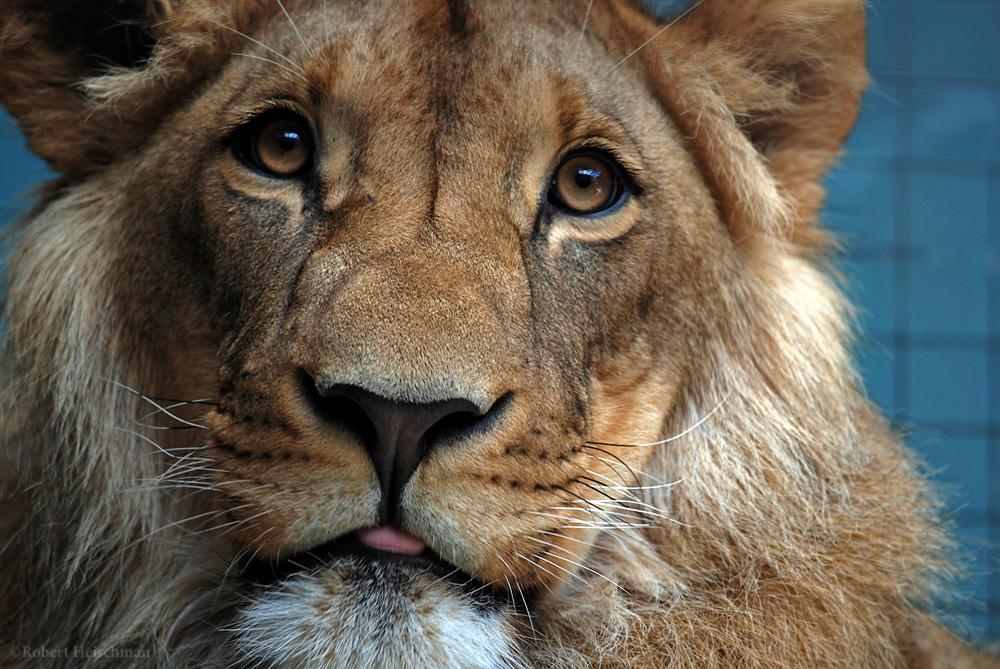 Berlin Lion by robbobert