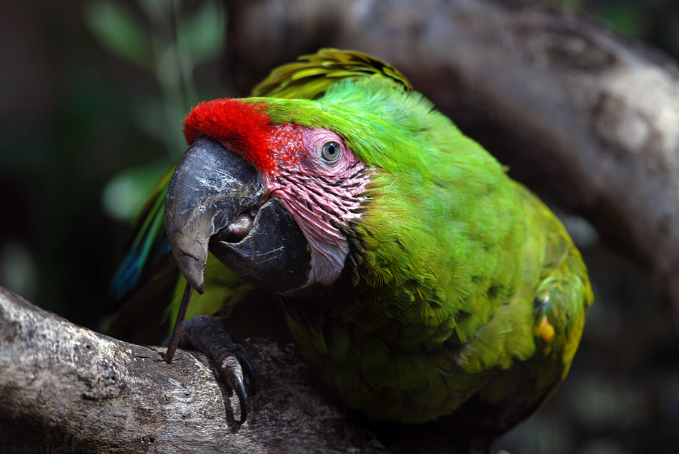 Buffon's Macaw by robbobert