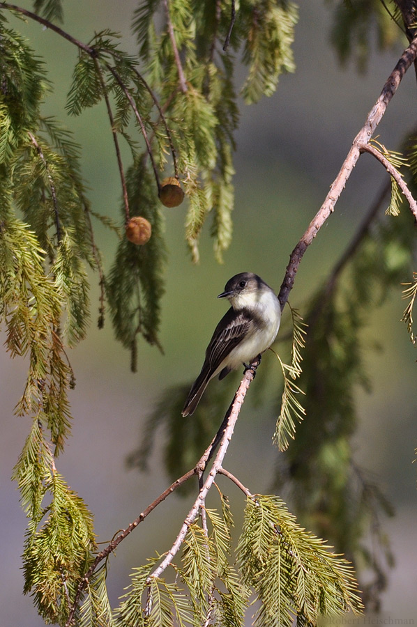 Eastern Phoebe by robbobert