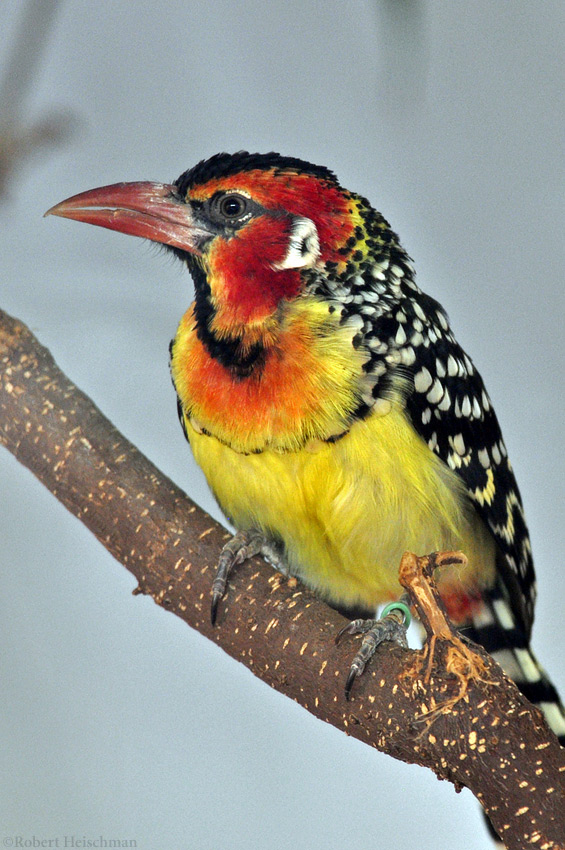 Red and Yellow Barbet 2 by robbobert