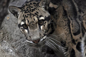 Clouded Leopard 0254 by robbobert