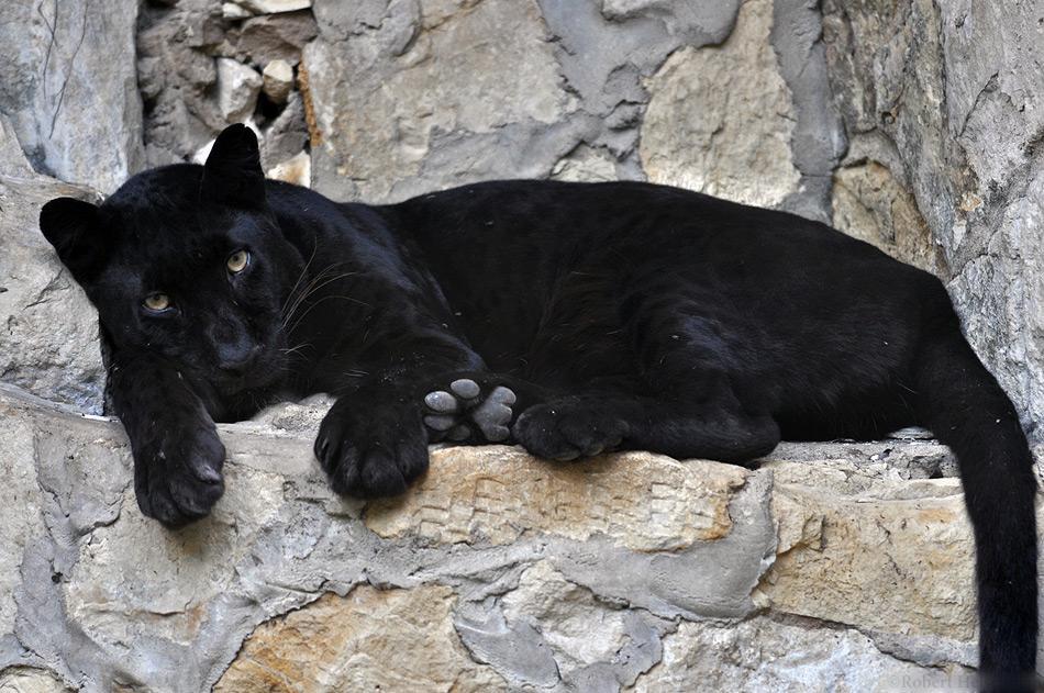 Black Leopard 0250 By Robbobert On Deviantart