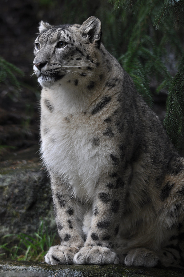 Snow Leopard 1234 by robbobert