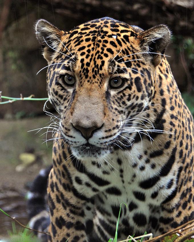 Jaguar 1045 by robbobert