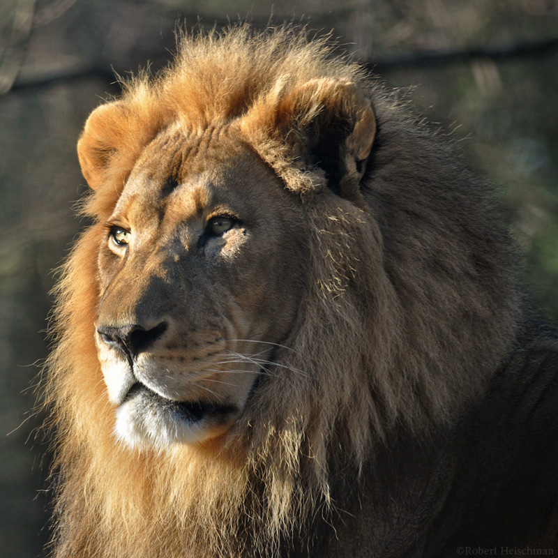 African Lion 1510 by robbobert