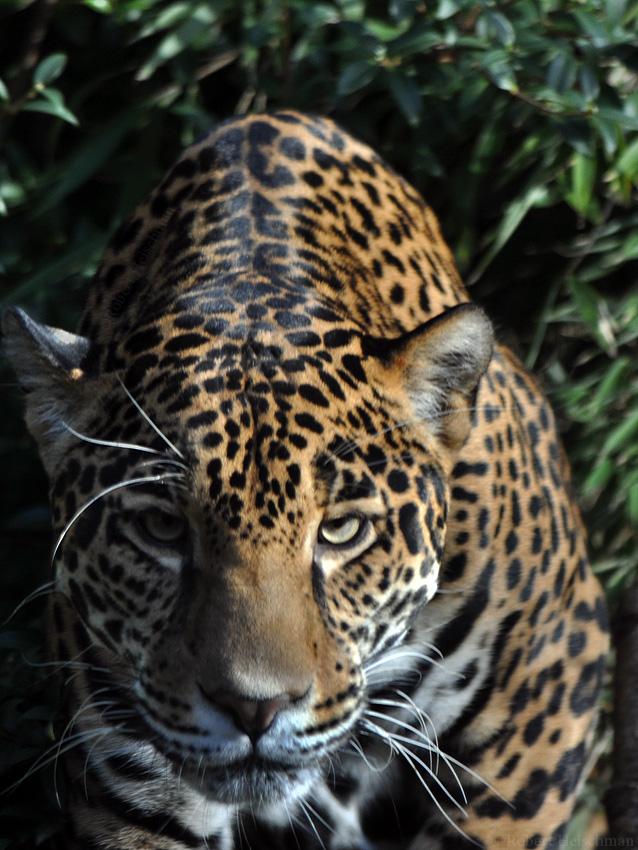 Jaguar 1419 by robbobert