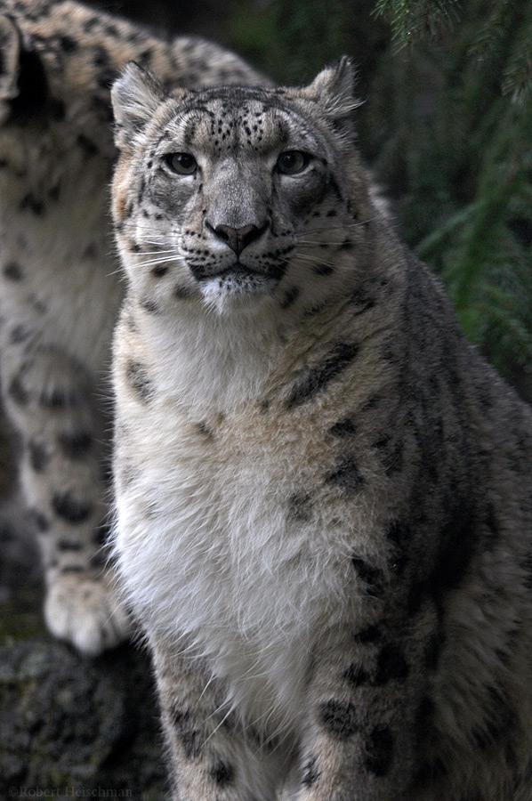 Snow Leopard Portrait 1223 by robbobert