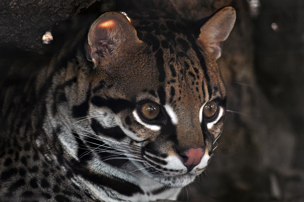 Ocelot 2564 by robbobert