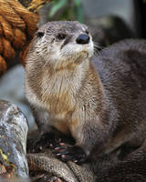 River Otter 6374 by robbobert