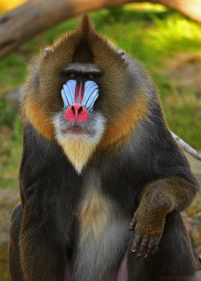 a study on the mandrill monkey from congo and nigeria And nigeria and on the island of bioko, the drill (mandrillus leucophaeus)  drills  and mandrills with cercopithecus and cercoce- bus species.