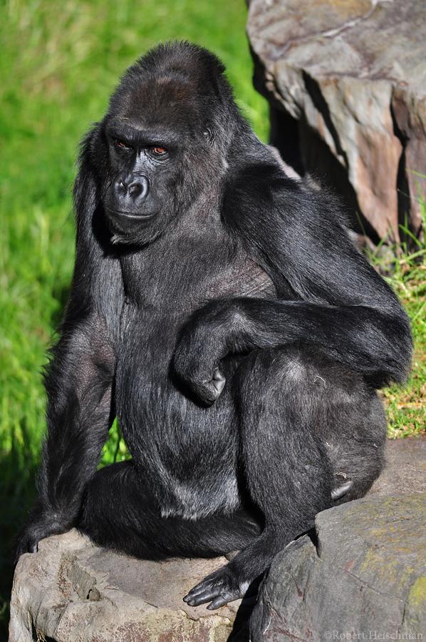 Western Lowland Gorilla 6256 by robbobert