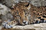 Jaguar 9948