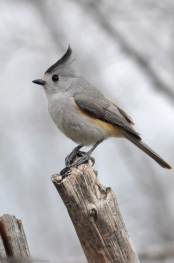 Black-crested Titmouse 1648 by robbobert