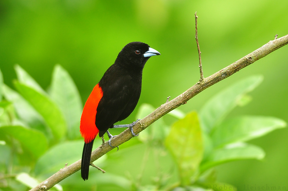 Passerini's Tanager by robbobert