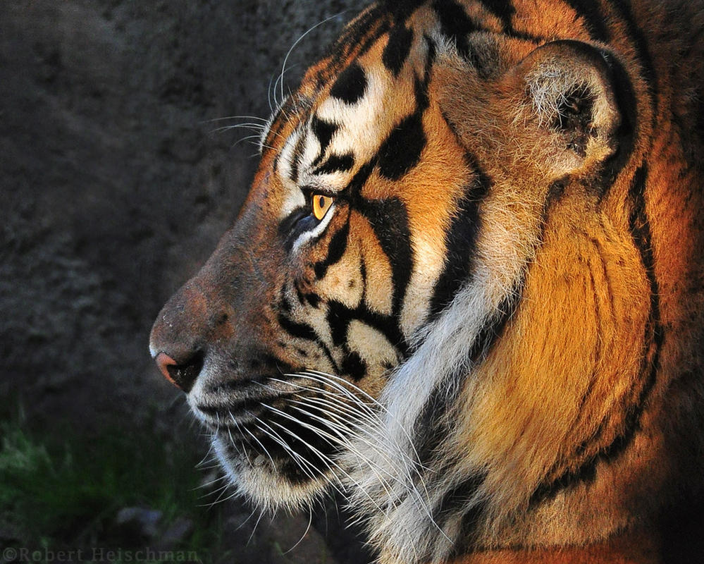 Tiger Profile by robbobert
