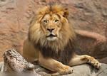 Another lion portrait