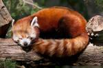 Red Panda Nap
