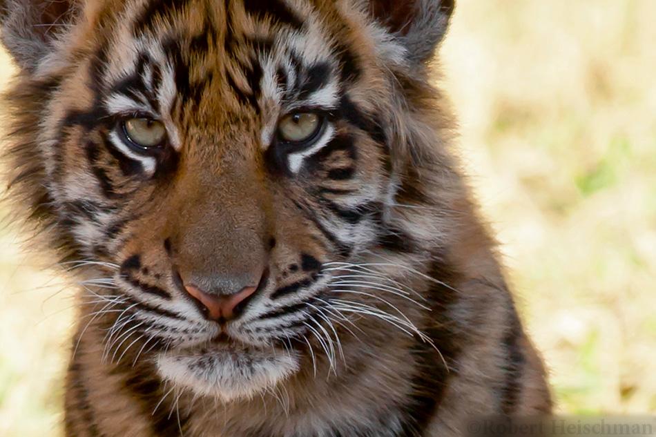 Tiger Cub Portrait (tight crop) by robbobert