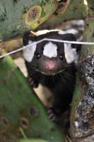 Western Spotted Skunk Portrait 2 by robbobert