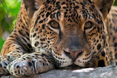Jaguar Portrait 1346