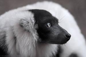 Black and White Ruffed Lemur Profile by robbobert