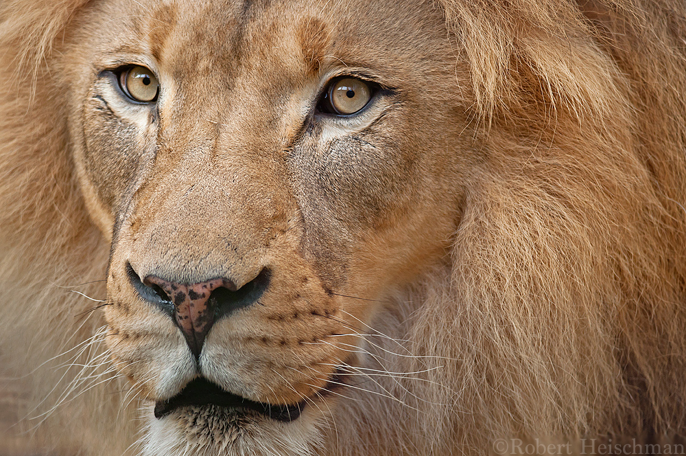 African Lion 7640 by robbobert