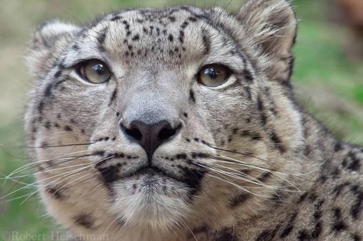 Snow Leopard 7730
