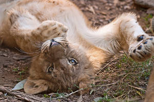Lion Cub 0031 by robbobert