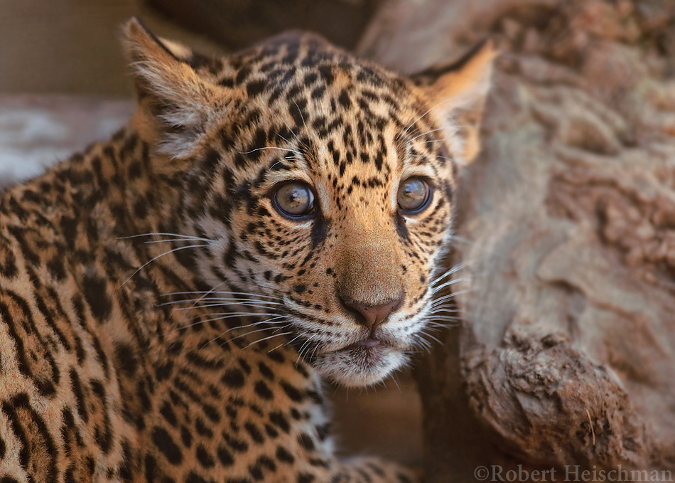 Jaguar Cub 8382 by robbobert