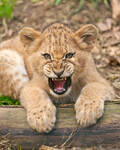 African Lion Cub 1038