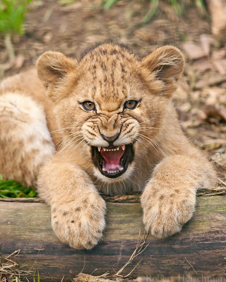 how to raise a lion cub