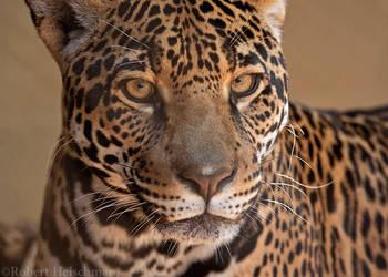 Jaguar 8354