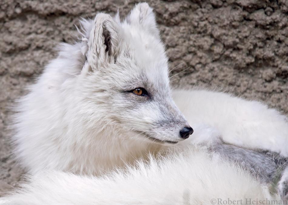 Arctic Fox 8511 by robbobert